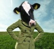 Cattle wear winter jacket all year round