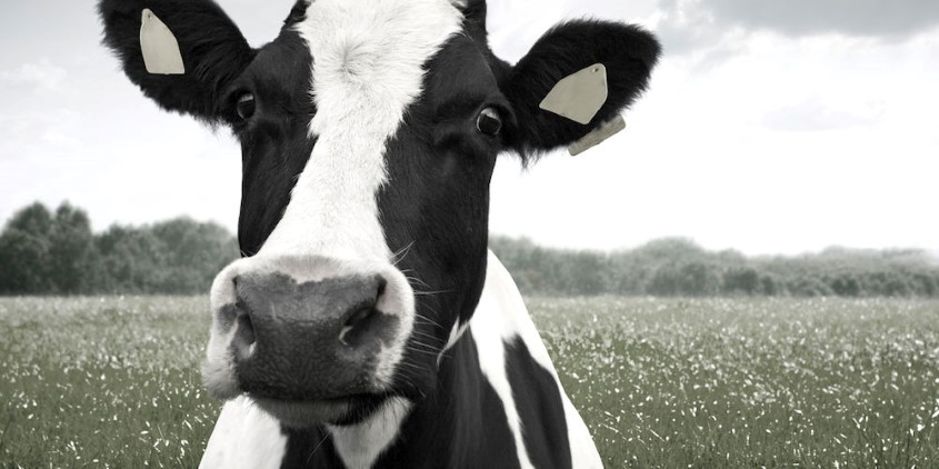 Dairy cow in a field
