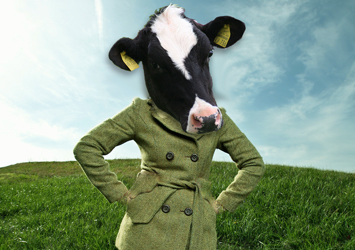 Cow in coat