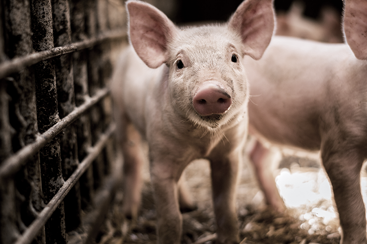 Swine for hogs package_AdobeStock_163792299_web.png