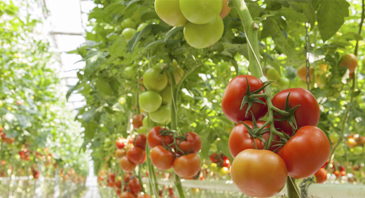 Tomatoes in climate controlled greenhouse