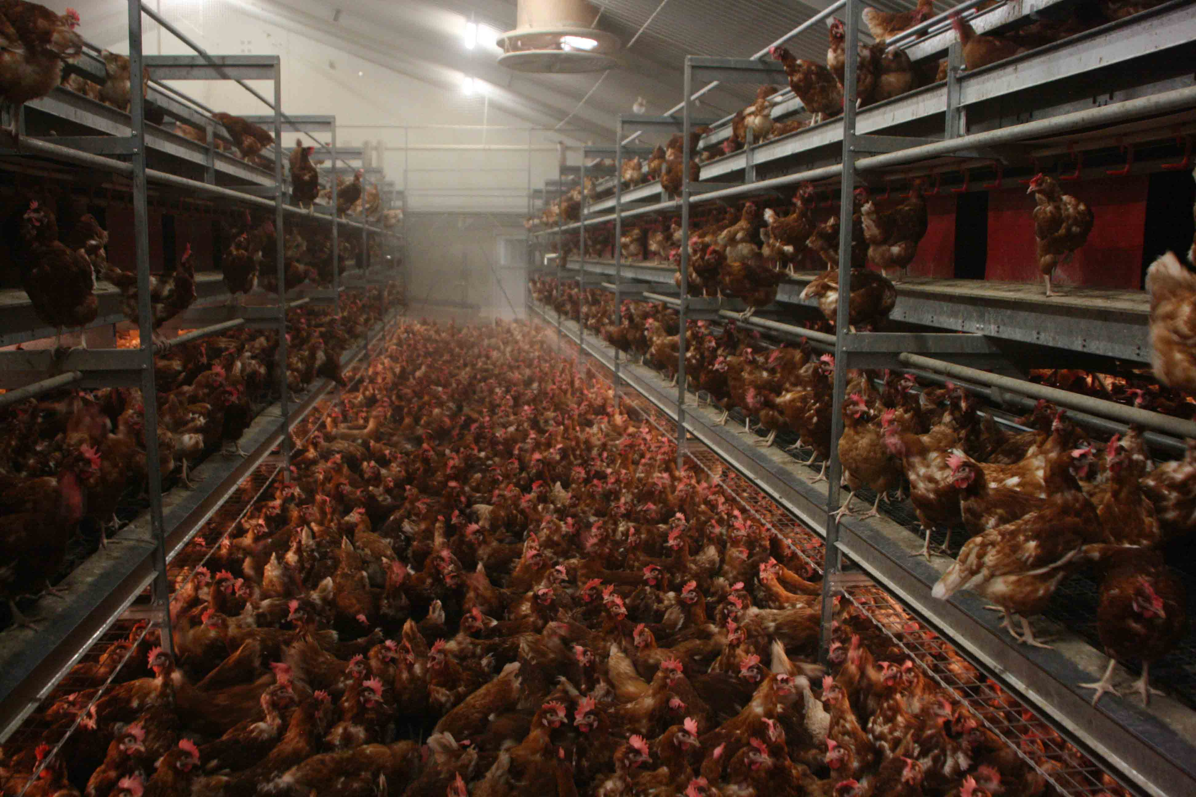 Increase Egg Production And Animal Welfare In Layers