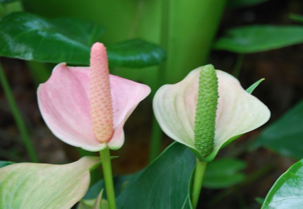 Anthurium flowers in a greenhouse