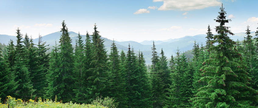 sustainability-fir-trees.jpg